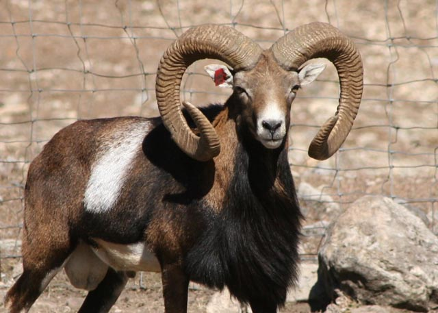 Mouflon - Wikipedia